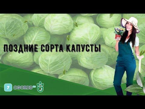 Поздние сорта капусты