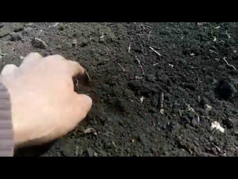 090517 Гречиха технология+посев