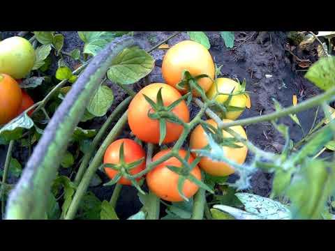 900 кг с 1-ой сотки томат помидор детерменантный солероссо f1