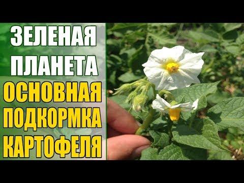Основная калийная подкормка картофеля в фазе цветения