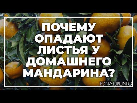 Почему опадают листья у домашнего мандарина? | toNature.Info