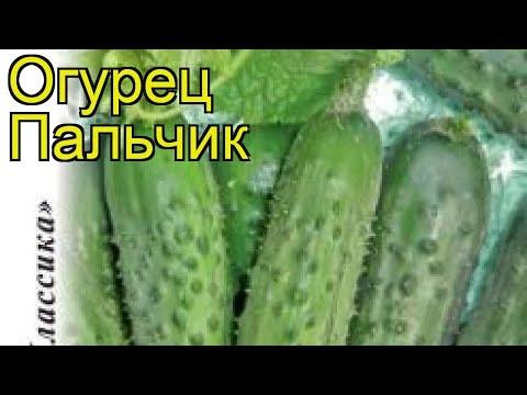Огурец Пальчик (Огурец). Краткий обзор, описание характеристик, где купить семена cucumis sativus