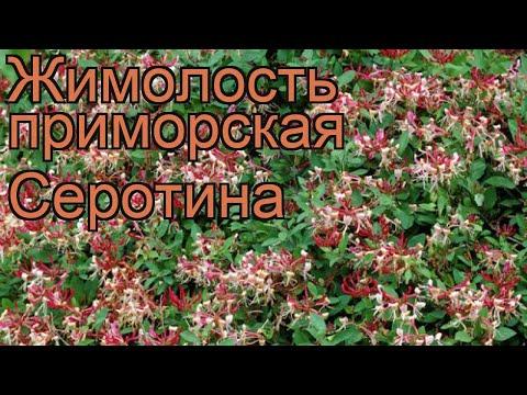 Жимолость приморская Серотина (lonicera serotina) 🌿 обзор: как сажать, саженцы жимолости Серотина