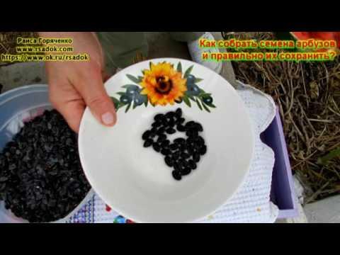 Как собрать семена арбузов и правильно их сохранить?