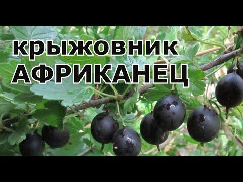 Крыжовник африканец. Описание сорта вкуснейшего чёрного крыжовника без шипов. Садоводство.