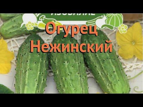 Огурец обыкновенный Нежинский (nezhinskiy) 🌿 Нежинский обзор: как сажать, семена огурца Нежинский