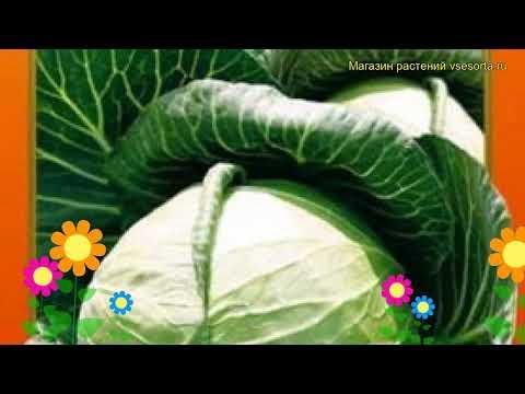 Капуста белокочанная Нозоми F1. Краткий обзор, описание характеристик brássica olerácea