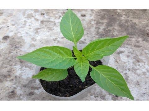 Рассада перца / Когда высаживать и как выращивать рассаду перца