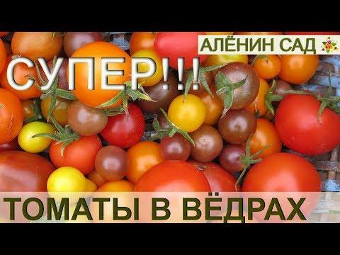 ТОМАТЫ в вёдрах / Выращивание томатов в вёдрах, мешках, ящиках / Огород в контейнерах