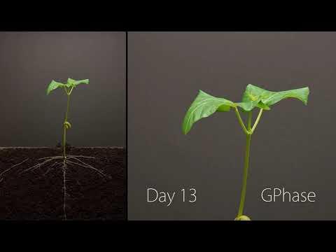 25 дней из жизни фасоли за 3 минуты