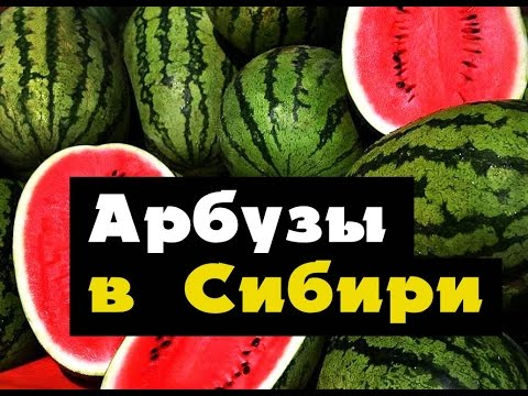 АРБУЗ - как вырастить АРБУЗЫ в Сибири, Урале Дальнем Востоке