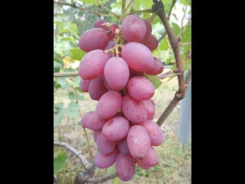 Обзор сортов винограда. Восторг красный. Сентябрь