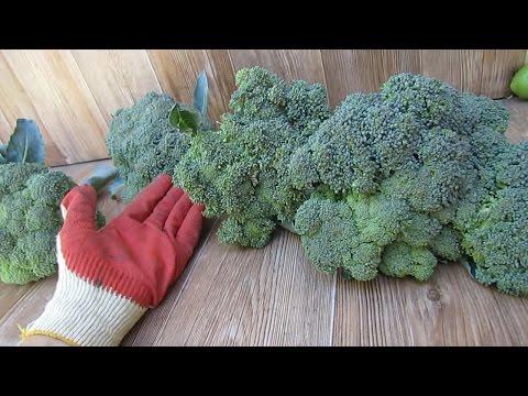 Сравнение сортов брокколи. Собираем урожай с Дейзи.