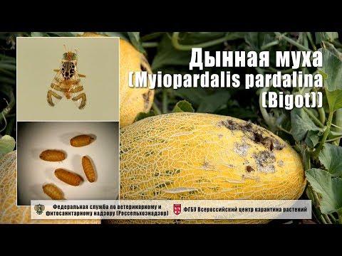 Дынная муха (Myiopardalis pardalina (Bigot))