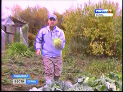 Пора рубить капусту