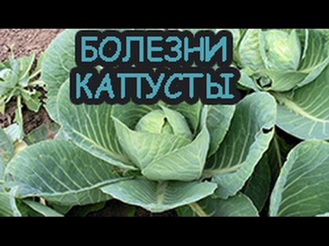 Почти всё о болезнях капусты.