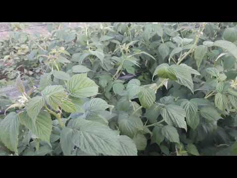 Прищипка ремонтантных сортов малины. Увеличение урожайности
