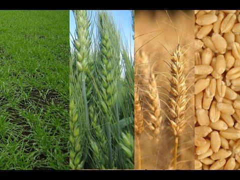Технология выращивания озимой пшеницы от А до Я