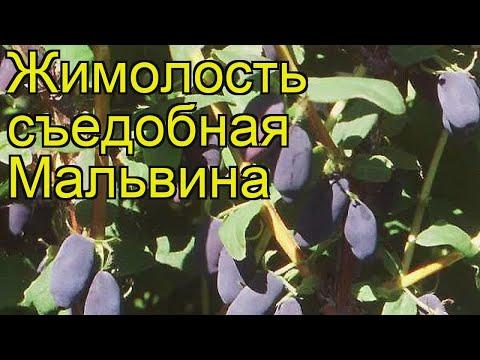 Жимолость съедобная Мальвина. Краткий обзор, описание характеристик lonicera edulis Malvina