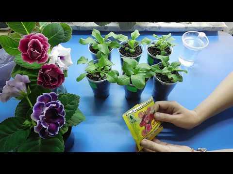 🌹🌹🌹КАК ВЫРАСТИТЬ РАССАДУ ПЕТУНИИ В ДОМАШНИХ УСЛОВИЯХ ! Все приемы для хорошего развития растения