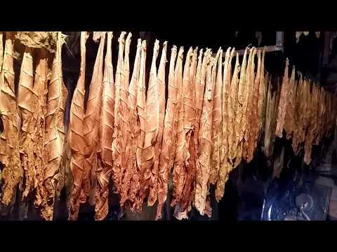Сушка и ферментация табака на шпагате