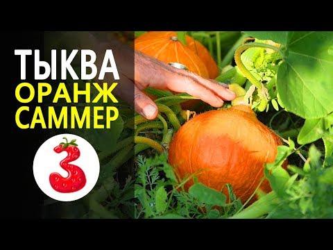 ТЫКВА ОРАНЖ САММЕР F1 самая милая компактная тыква
