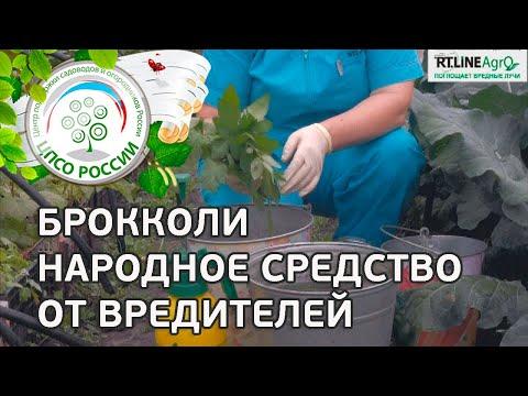 🥦 Борьба с вредителями капусты народными средствами. Опрыскивание капусты настоем листьев томата.