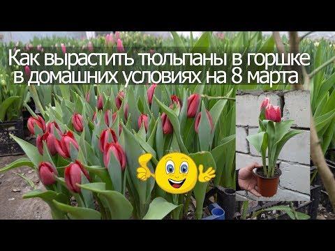 Как вырастить тюльпаны в горшке в домашних условиях на 8 марта