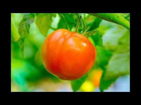 Томат «Персик» достоинства и недостатки