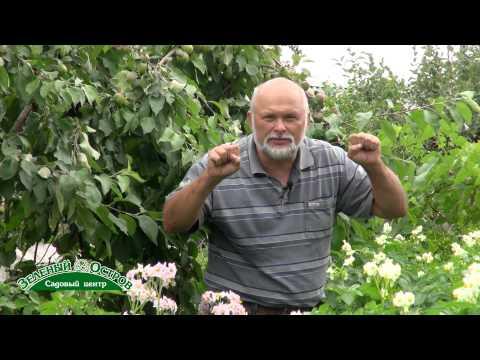 Цветение картофеля. Сидельников А.И.
