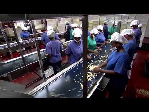 Макадамский орех, орехи макадамия - как растут