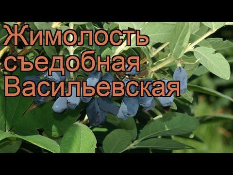 Жимолость съедобная Васильевская 🌿 обзор: как сажать, саженцы жимолости Васильевская
