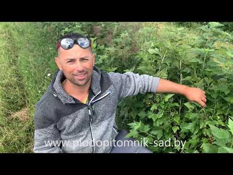 Смородина чёрная сорт ДОБРЫНЯ описание плодоношения на ягодной плантации.