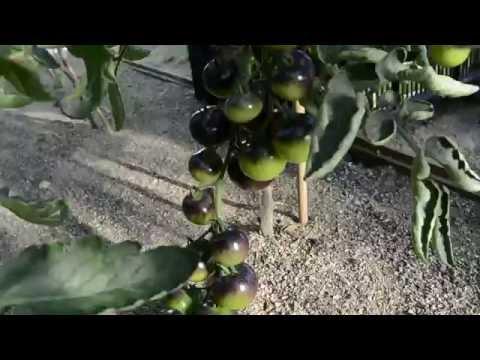 Томат Чёрная гроздь дегустация