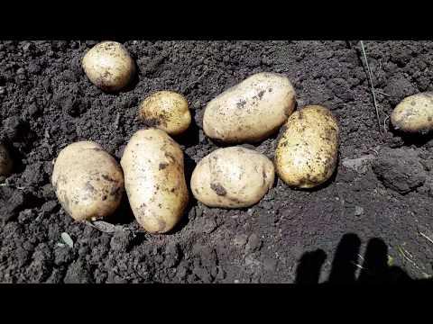 Урожай картофеля сорт Импала, сажали в марте под агроспан.
