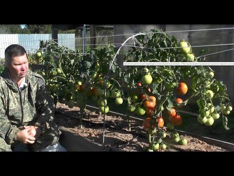 """Проверенный сорт томатов: """"Марфа"""""""