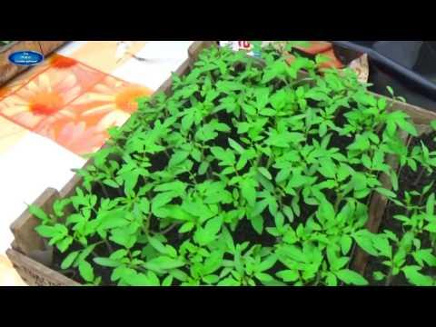 ПОМИДОРЫ - ОТ ПОСЕВА ДО УБОРКИ В ОДНОМ ВИДЕО! Как вырастить отличные помидоры?