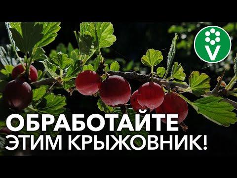 ПОРА СПАСАТЬ КРЫЖОВНИК от мучнистой росы! 5 безопасных рецептов обработки по ягоде