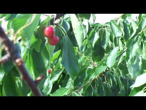 Обрезка вишни и черешни - только летом.