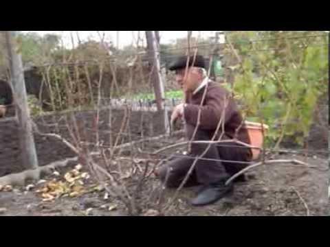 Осенняя обрезка кустов винограда. Нарезка лозы винограда для выращивания саженцев
