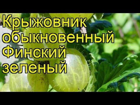 Крыжовник обыкновенный Финский зеленый. Краткий обзор, описание характеристик, где купить саженцы