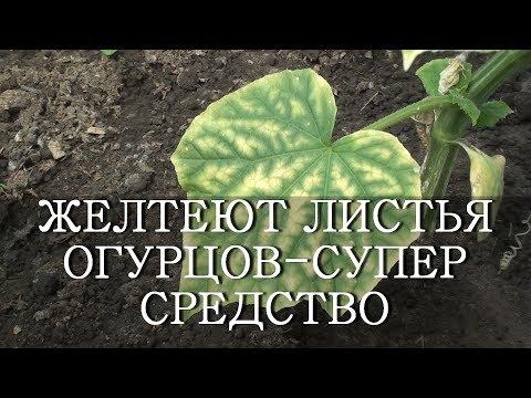 ЖЕЛТЕЮТ ЛИСТЬЯ ОГУРЦОВ - СУПЕР СРЕДСТВО ЙОД И МОЛОКО