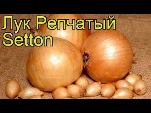 Лук репчатый Сеттон (Setton). Краткий обзор, описание характеристик, где купить луковицы