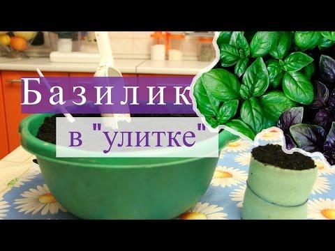 """Базилик в """"улитке"""". Быстро всходит, хорошо растет! (07.02.16г.)"""