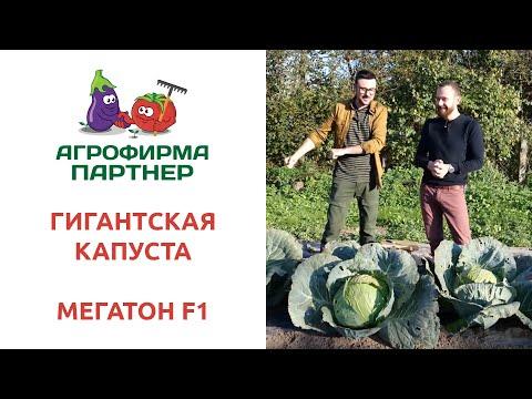 ГИГАНТСКАЯ КАПУСТА МЕГАТОН F1