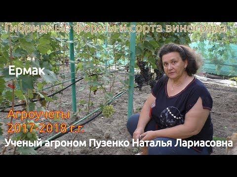 Виноград Ермак - очень раннего срока созревания (Пузенко Н.Л.)