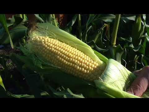 Как определить поспел ли початок кукурузы?