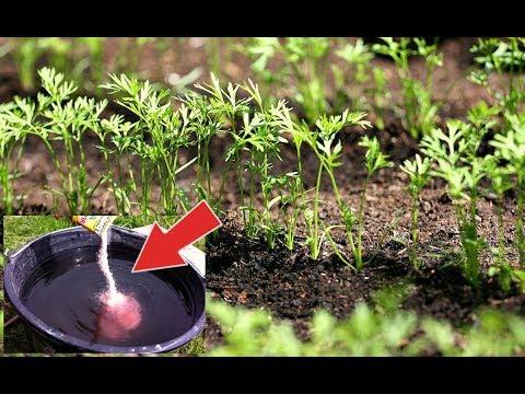 Подкормите этим морковь в июне и увидите какой огромной она вырастет! Чем подкормить морковь?