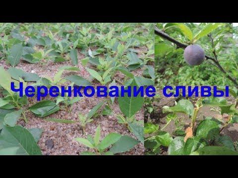 Зеленое черенкование сливы. Размножение сливы зелеными черенками