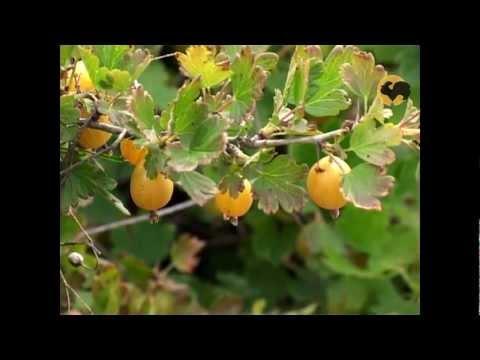 Сад и огород-96 Как грамотно вырастить крыжовник